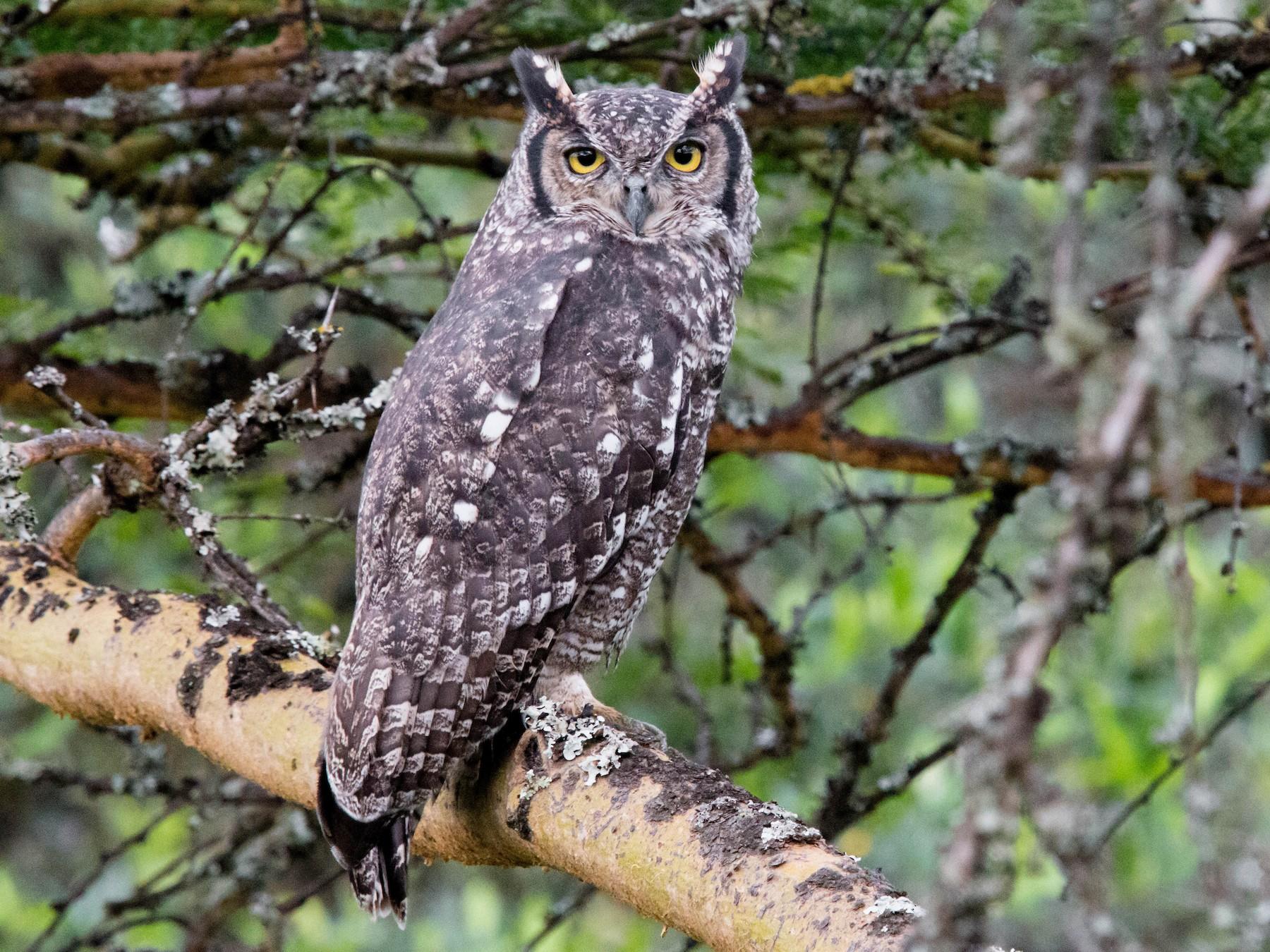 Spotted Eagle-Owl - Kevin Vande Vusse