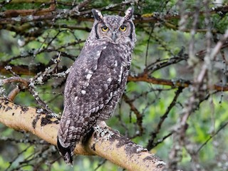 - Spotted Eagle-Owl