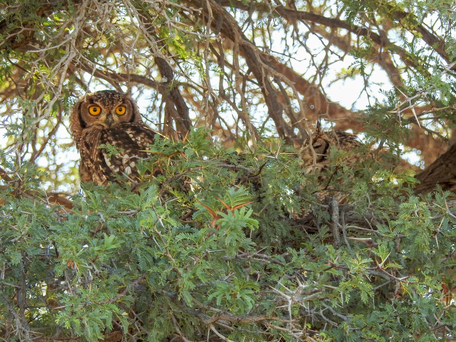 Spotted Eagle-Owl - Samuel Burckhardt