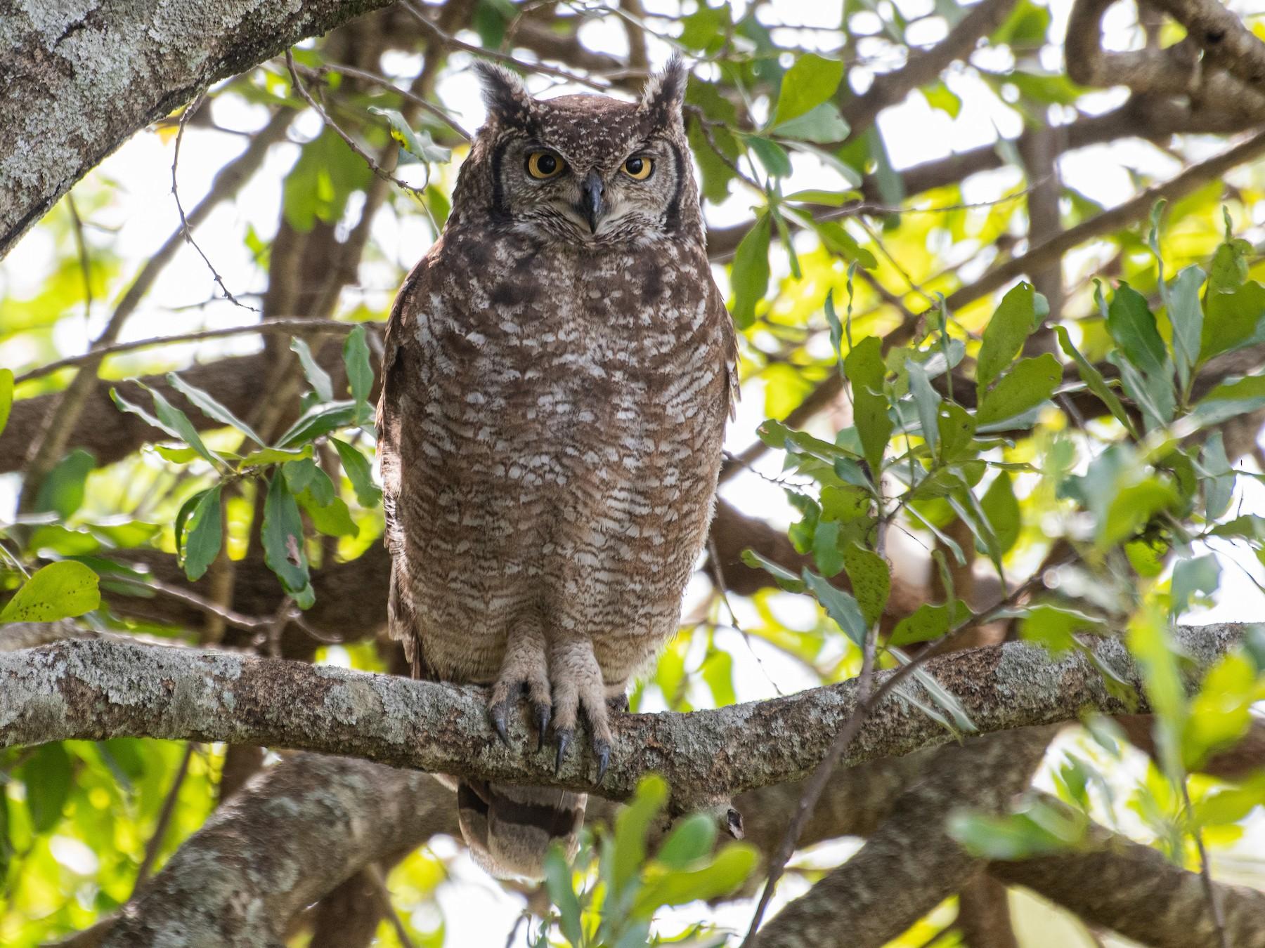 Spotted Eagle-Owl - T I