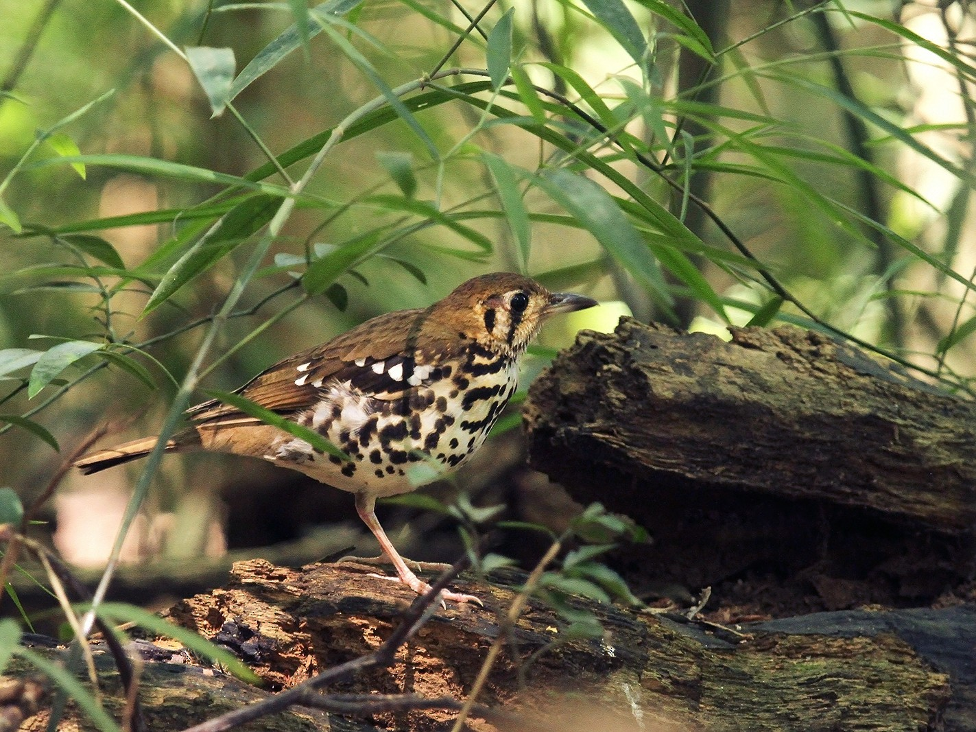 Spotted Ground-Thrush - Daryl Dell