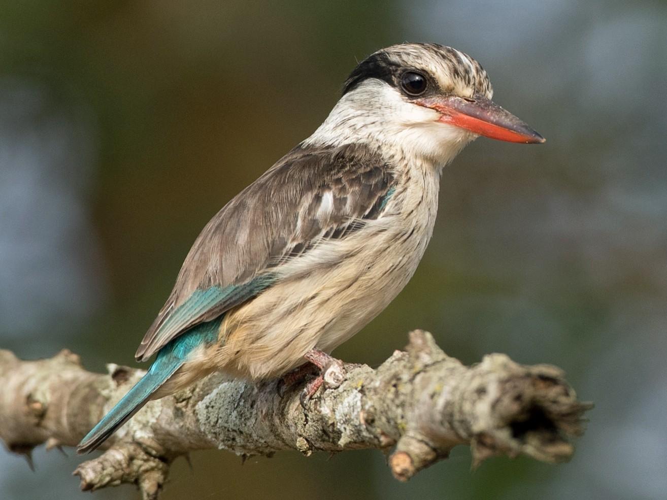 Striped Kingfisher - Ian Davies