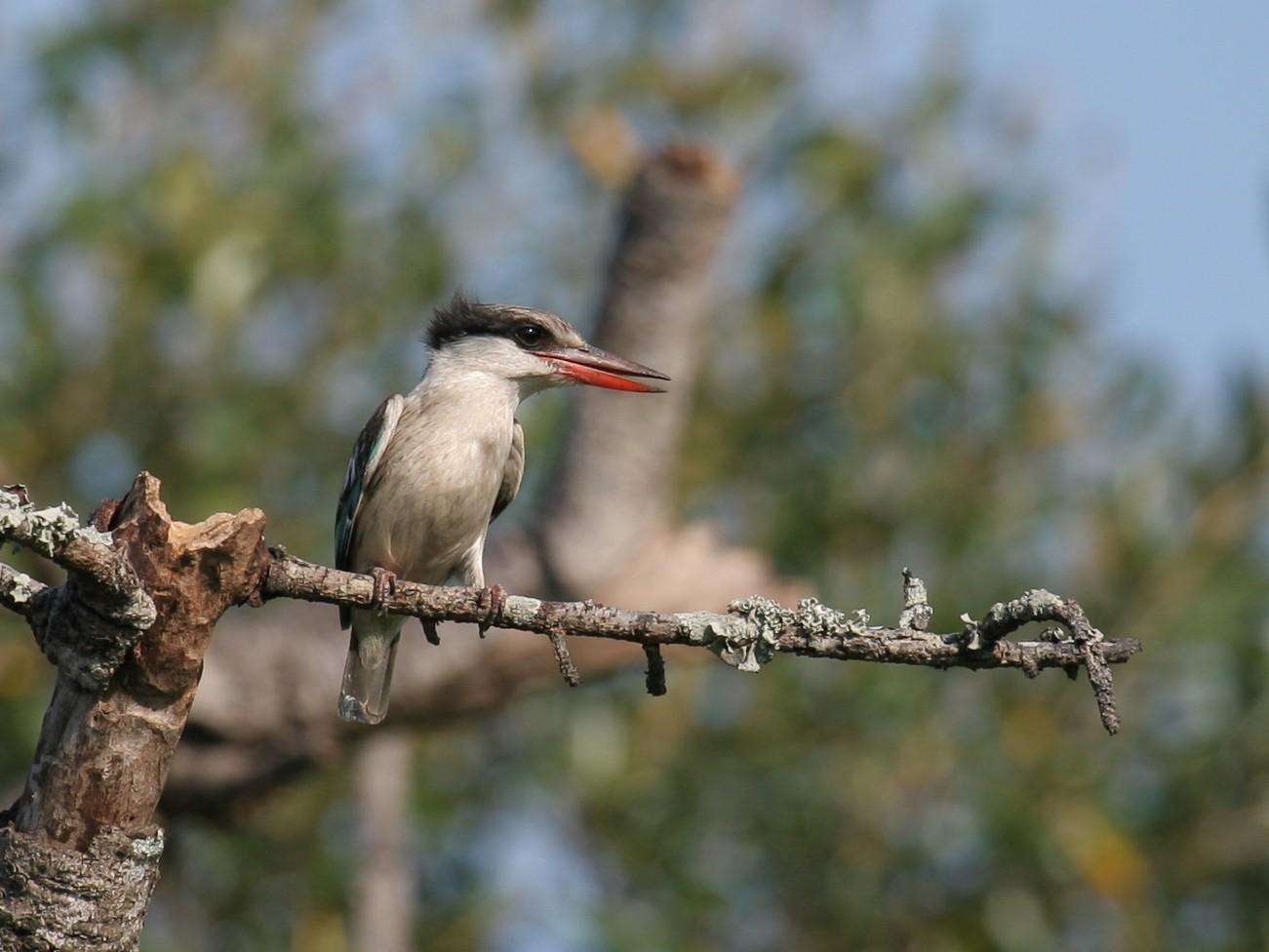 Striped Kingfisher - Geoff Dennis