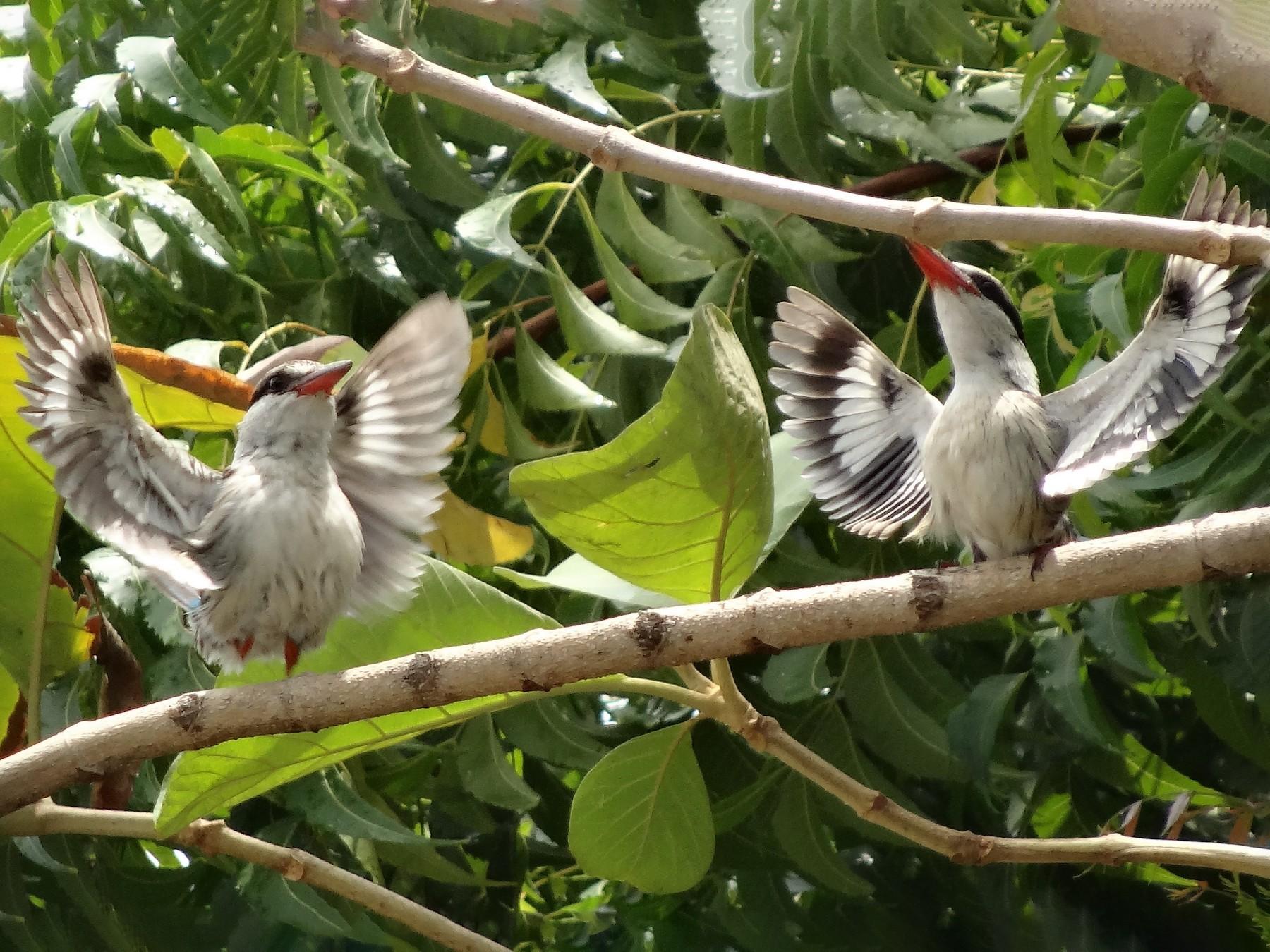 Striped Kingfisher - Ruth Oatridge