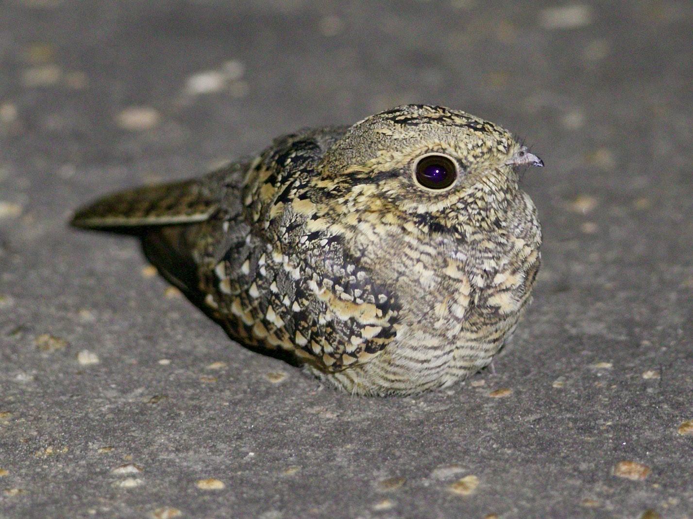 Square-tailed Nightjar - Krista Oswald