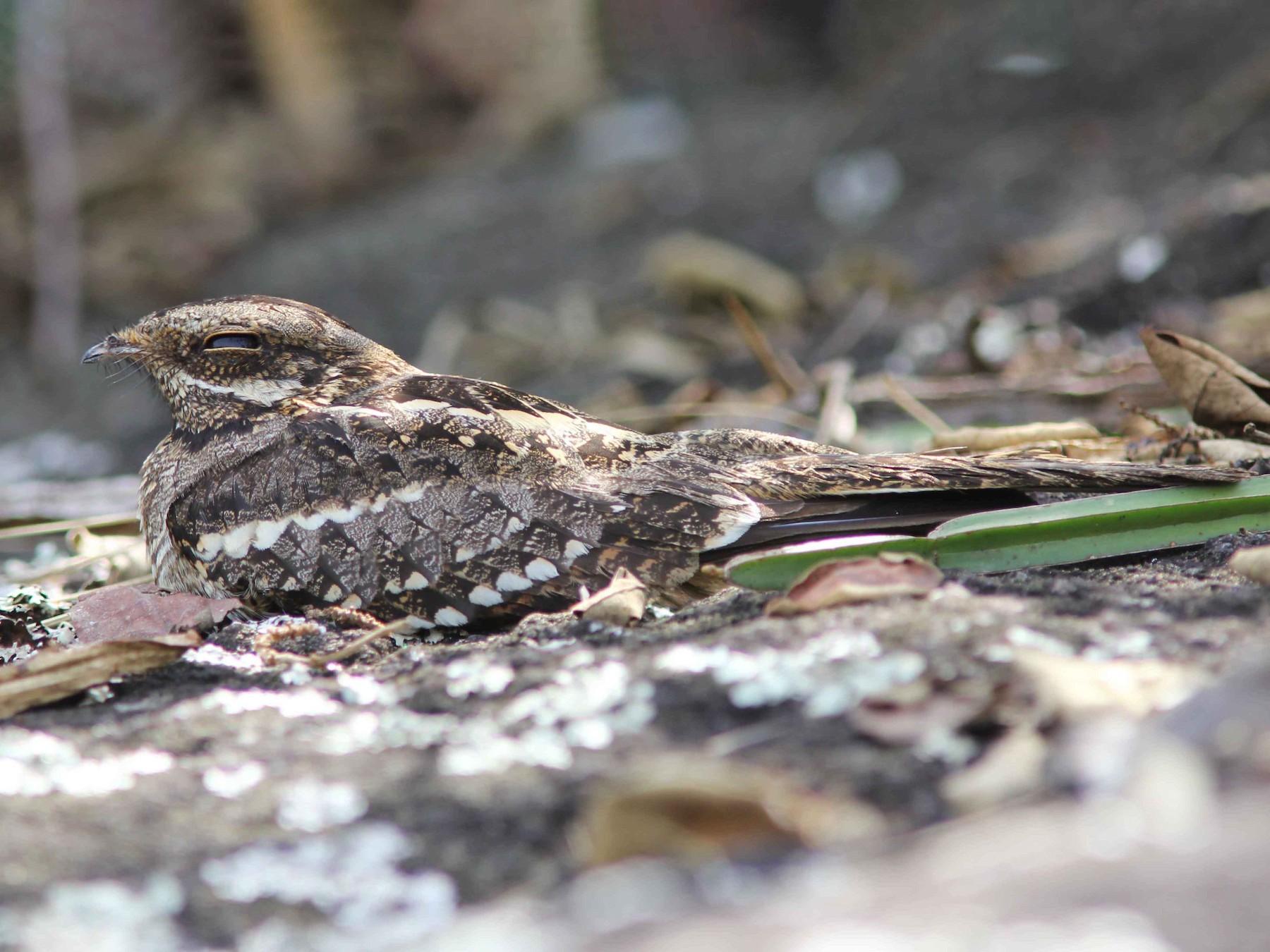 Square-tailed Nightjar - David Beadle