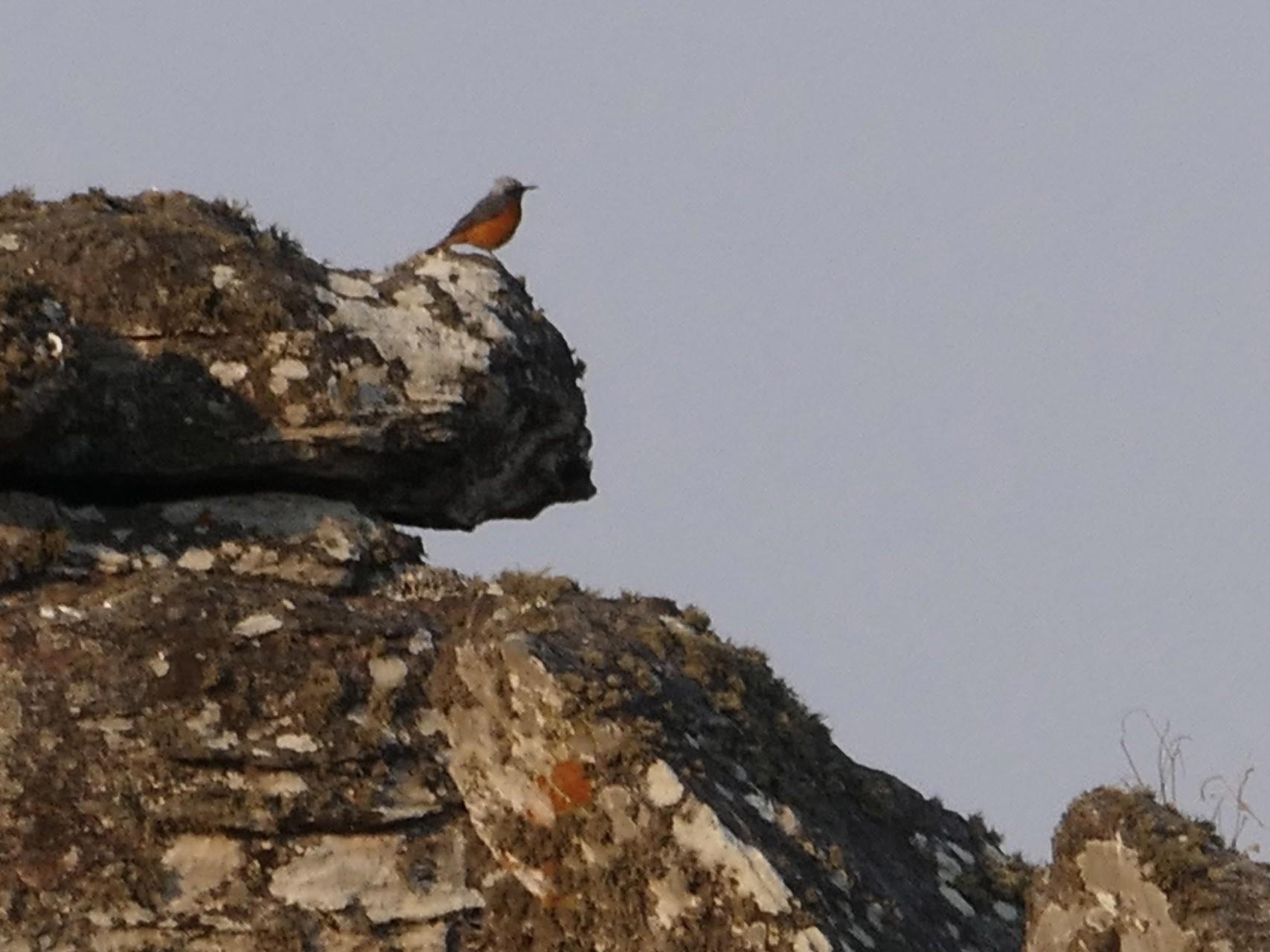 Short-toed Rock-Thrush - Peter Kaestner