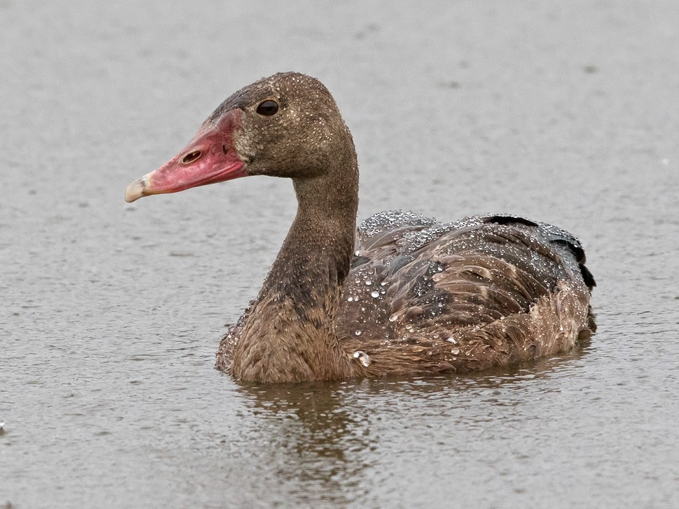 Spur-winged Goose - Niall D Perrins