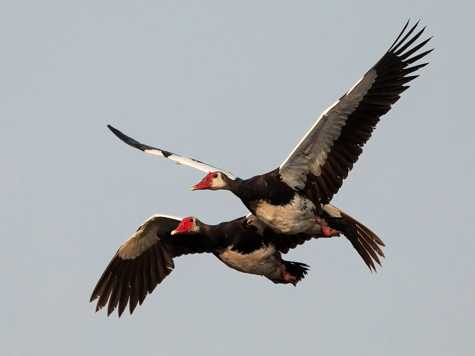 Spur-winged Goose - Marco Valentini