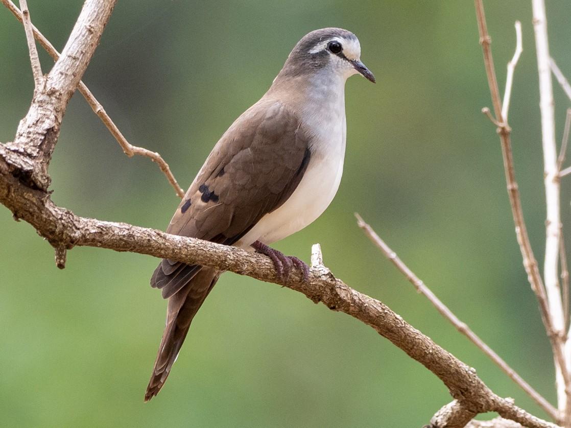 Tambourine Dove - Forest Jarvis