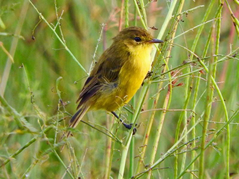African Yellow-Warbler - Etienne Marais