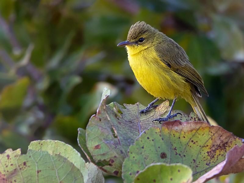 African Yellow-Warbler - Dubi Shapiro