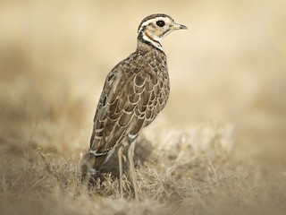 - Three-banded Courser
