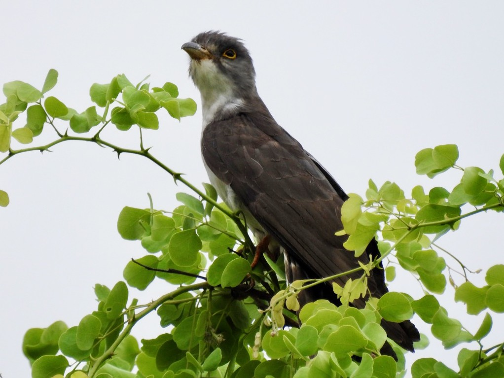 Thick-billed Cuckoo - Alastair Newton