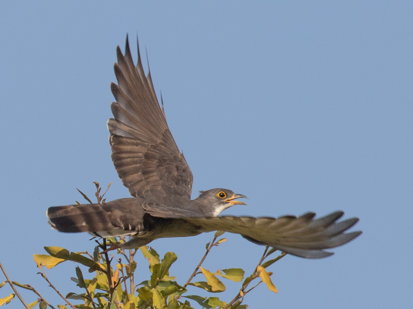 Thick-billed Cuckoo - Josh Engel