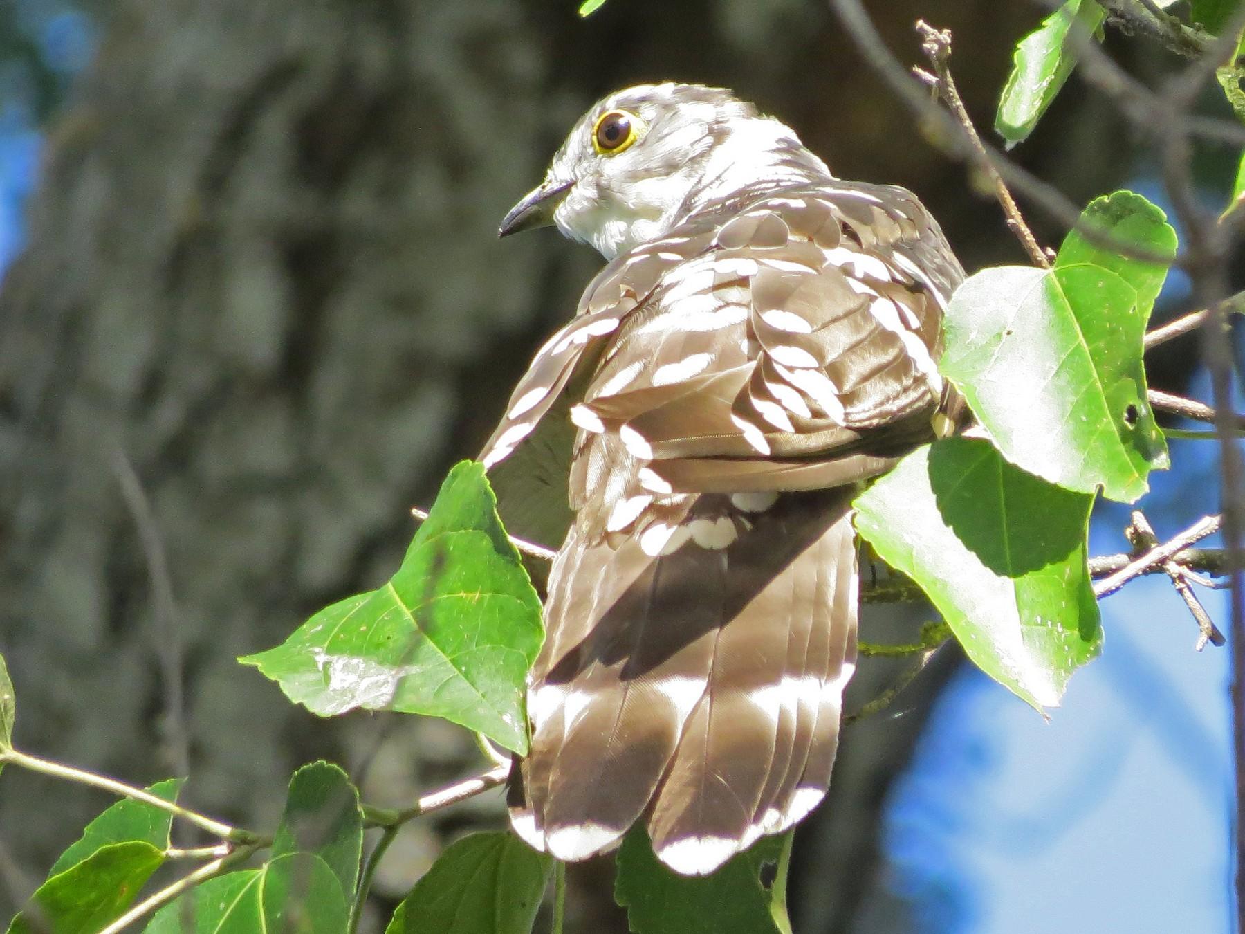 Thick-billed Cuckoo - Gary Douglas