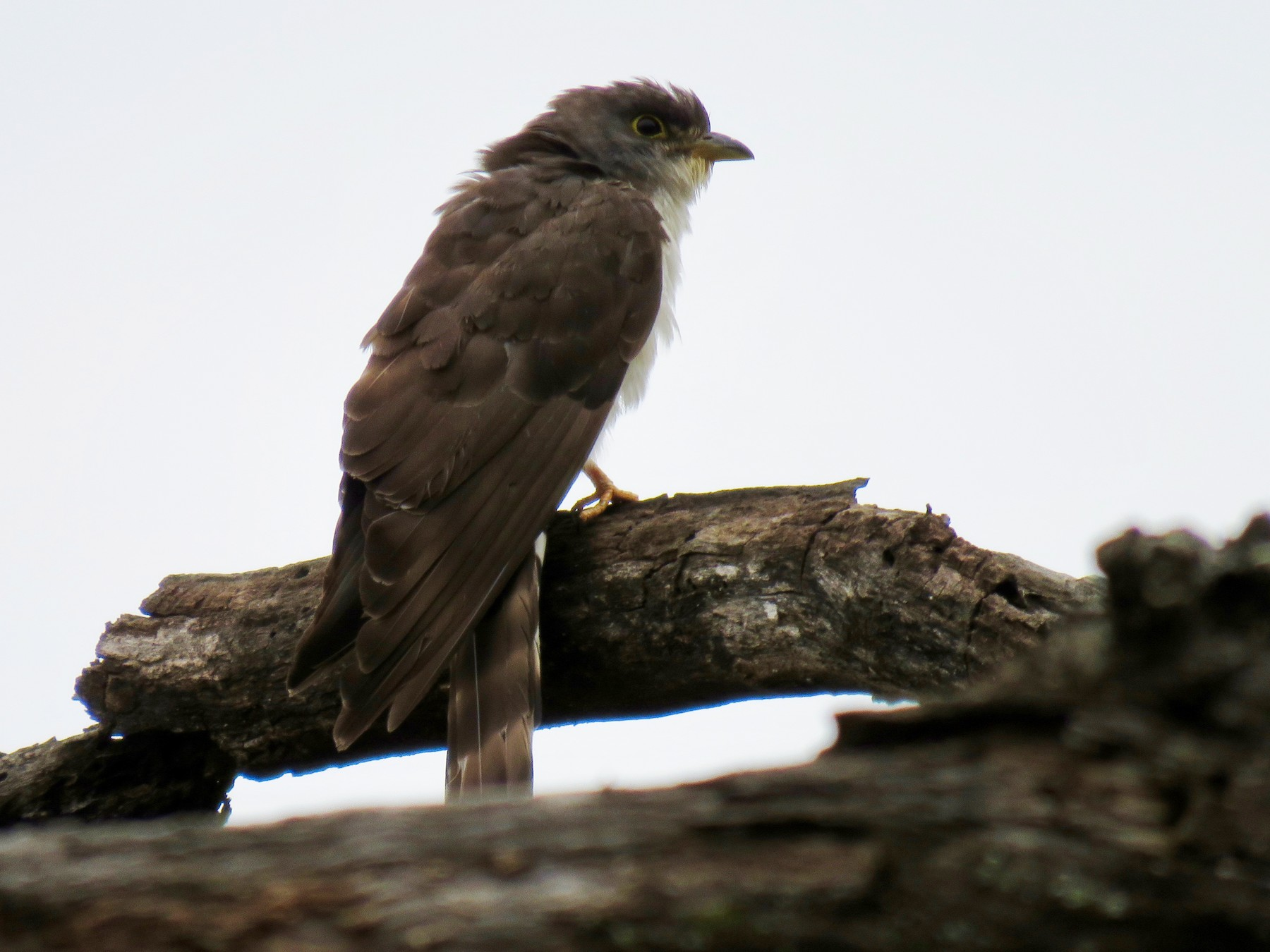 Thick-billed Cuckoo - Mich Coker