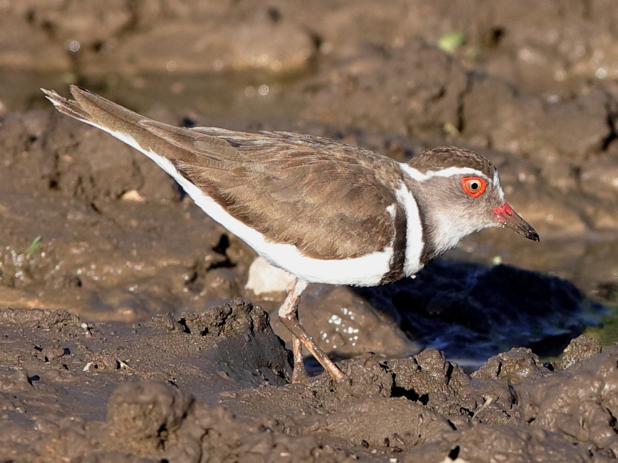 Three-banded Plover - Holger Teichmann