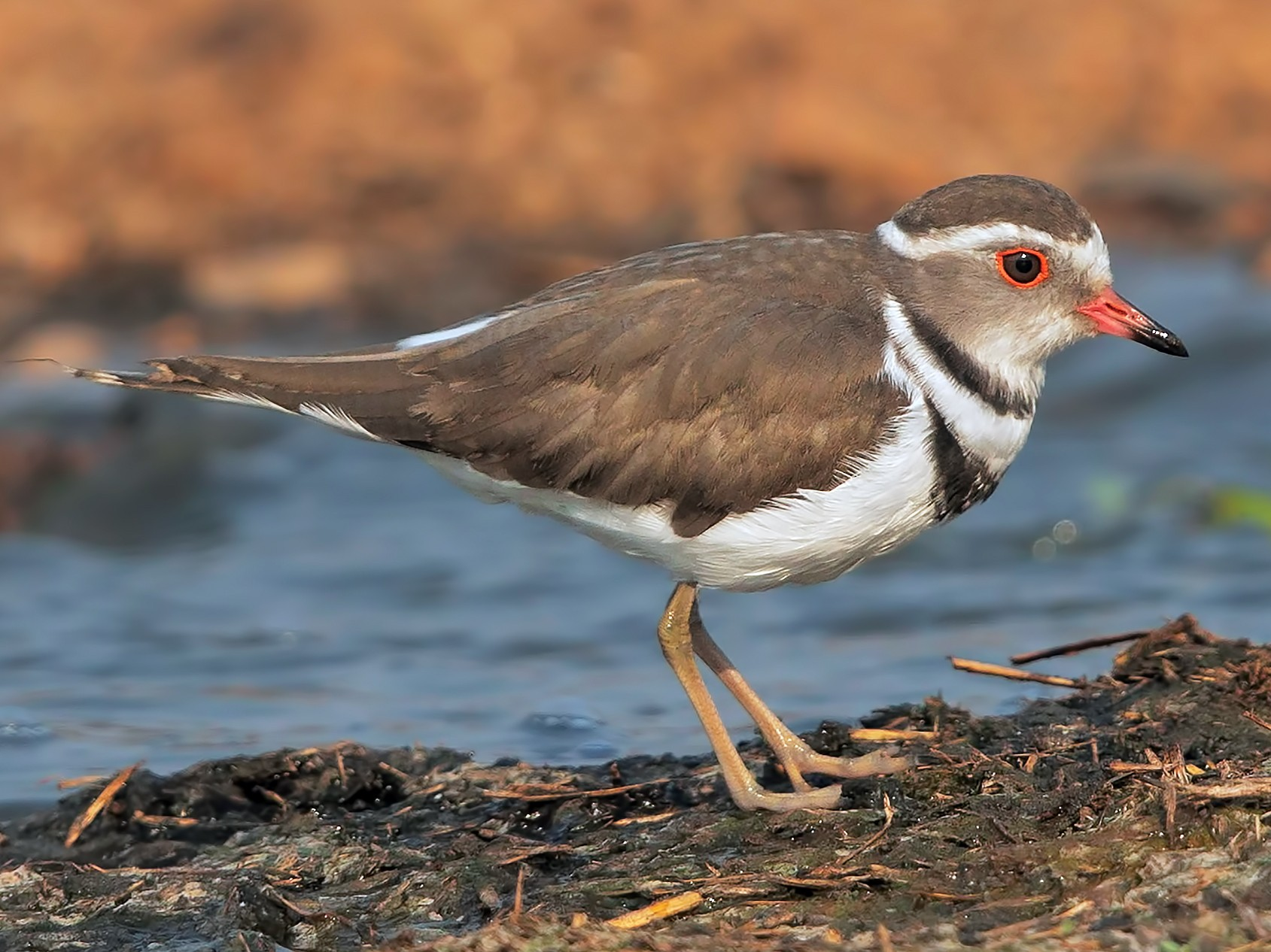 Three-banded Plover - Marco Valentini
