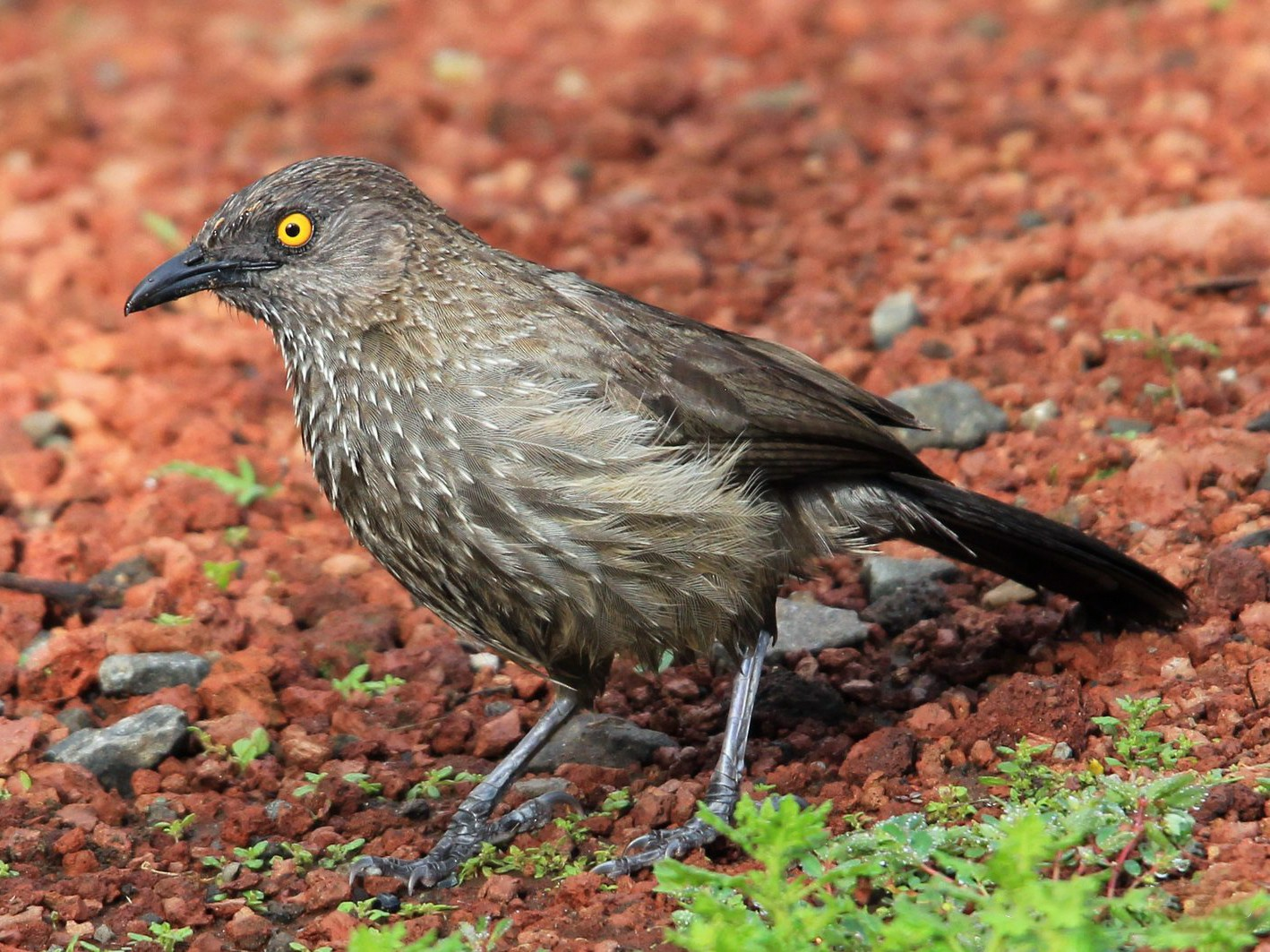 Arrow-marked Babbler - Oliver Fowler