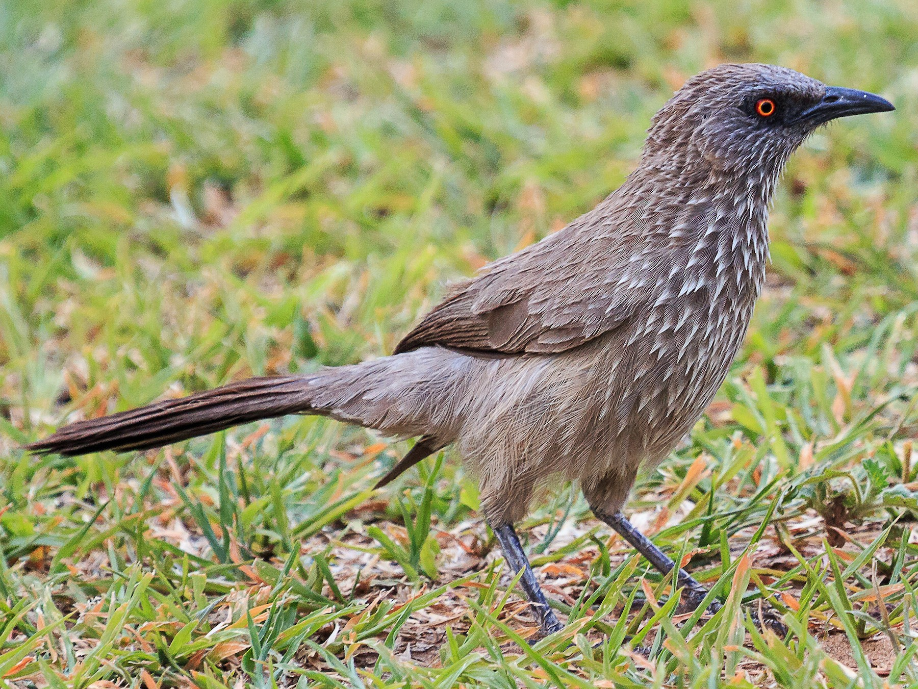 Arrow-marked Babbler - Karin Coetzer