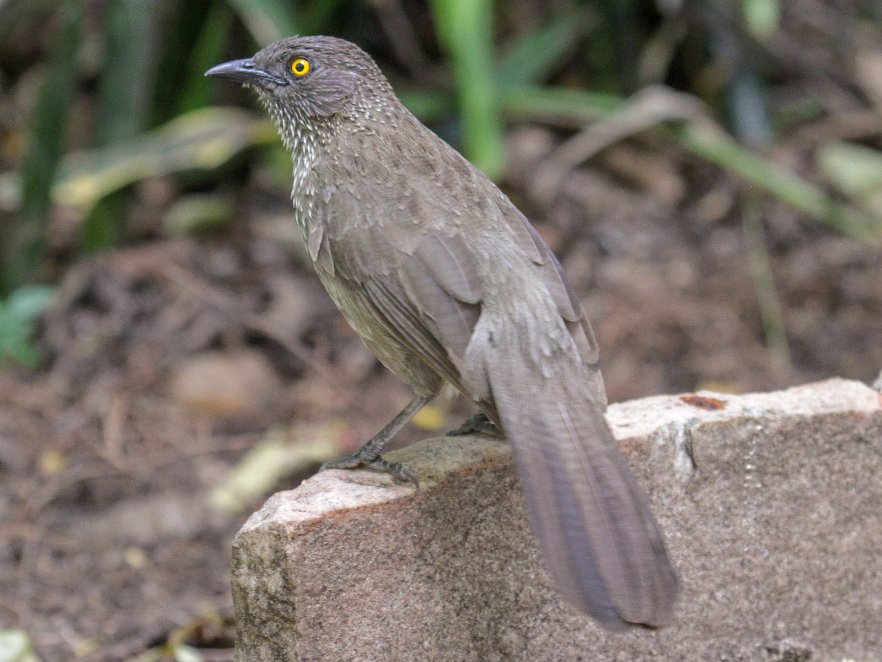 Arrow-marked Babbler - Tommy Pedersen