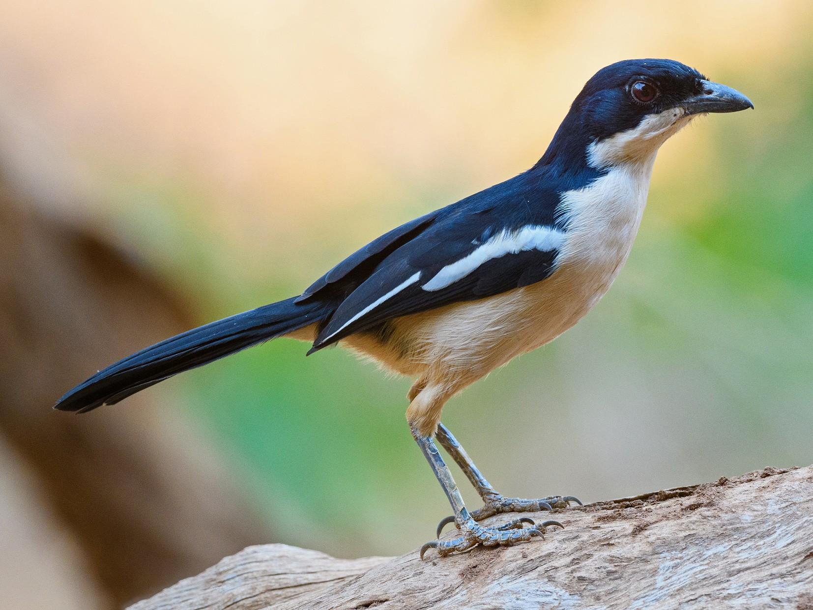Tropical Boubou - Dylan Vasapolli - Birding Ecotours