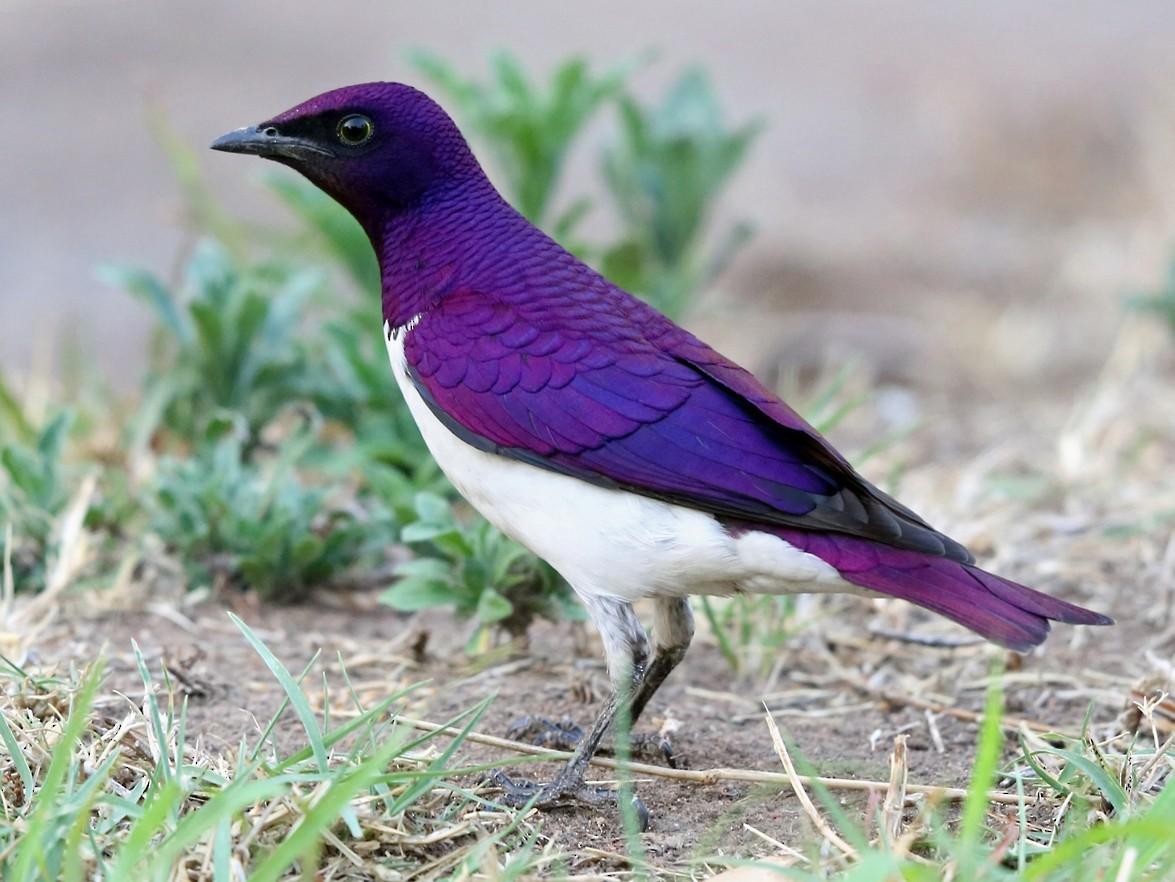 Violet-backed Starling - Nigel Voaden