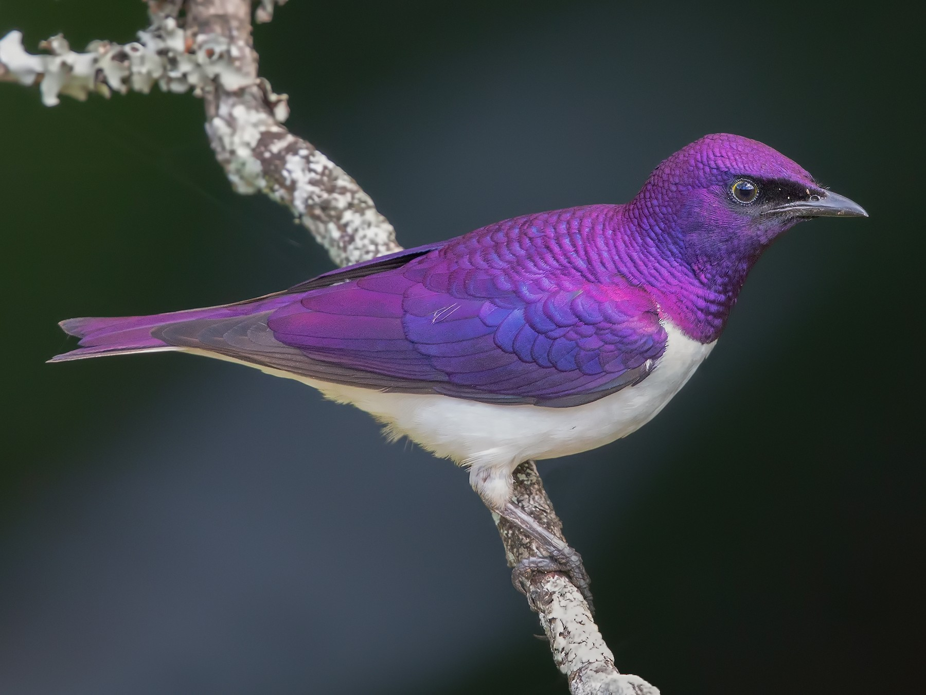 Violet-backed Starling - Marco Valentini