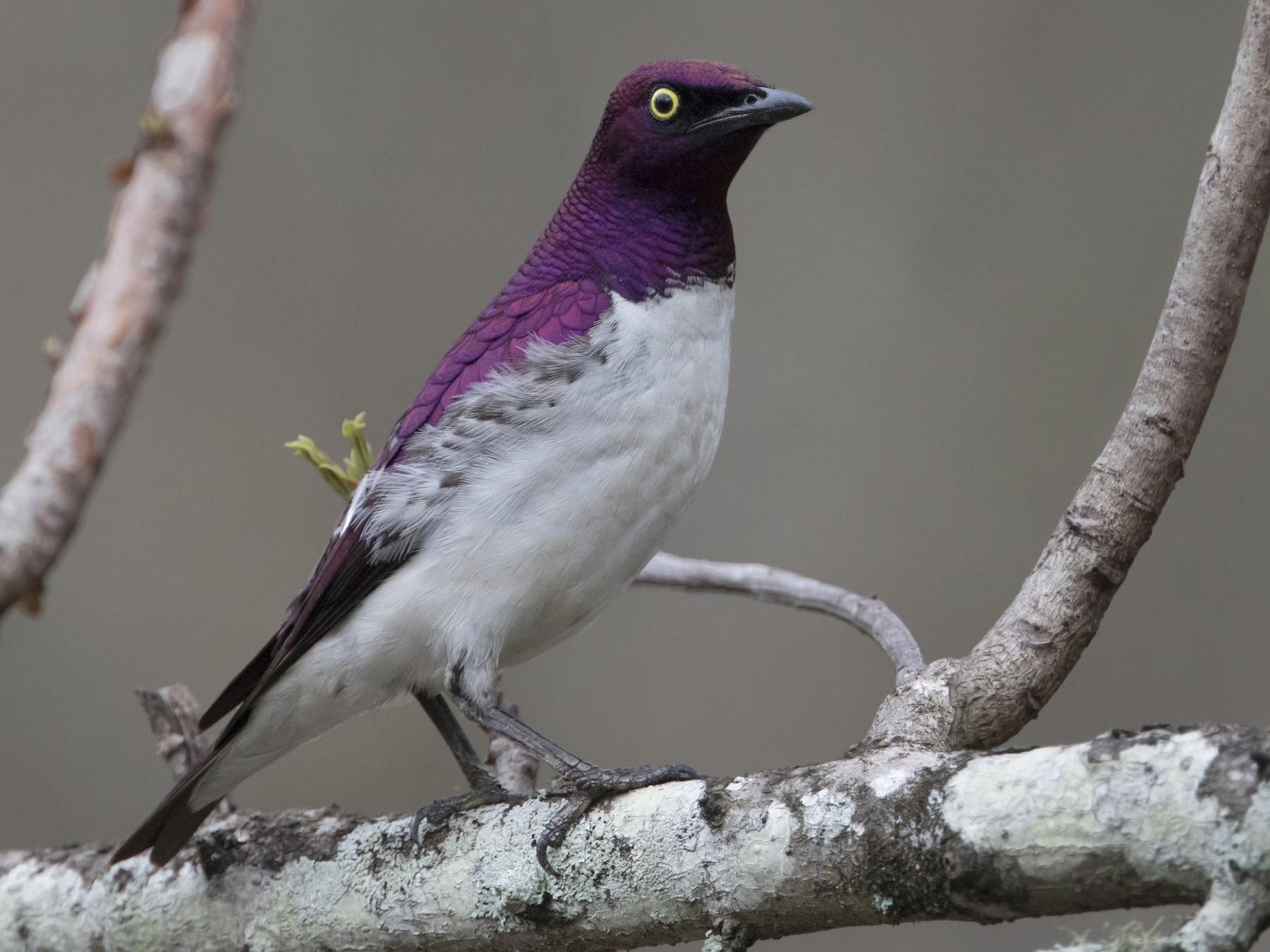 Violet-backed Starling - Zak Pohlen