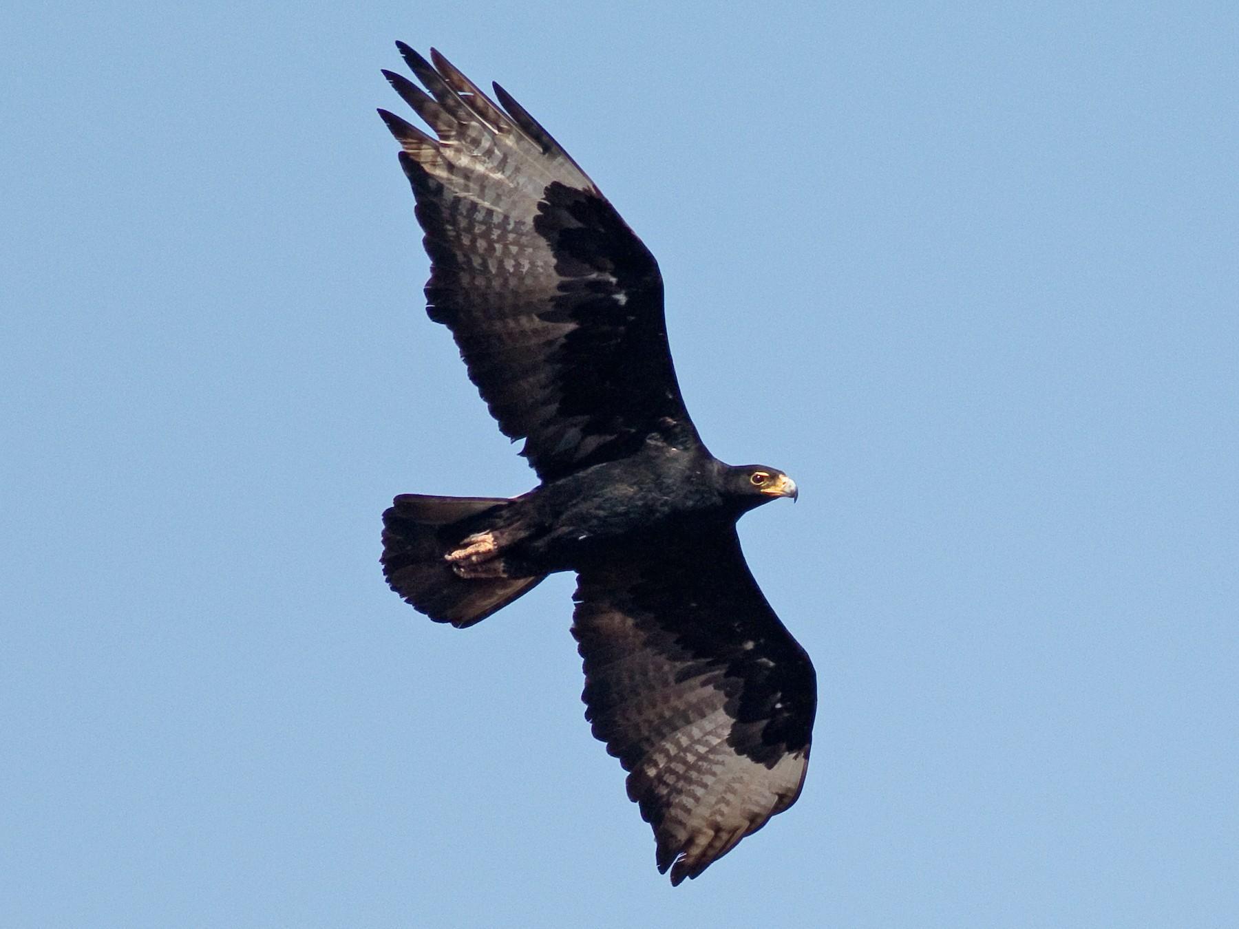 Verreaux's Eagle - Daniel Branch