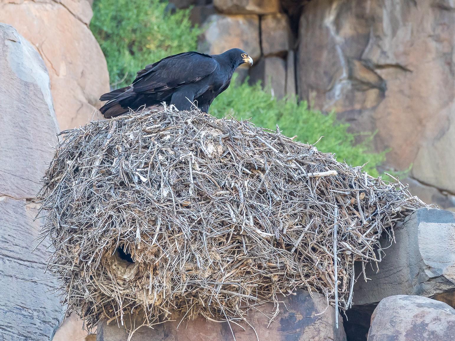 Verreaux's Eagle - aaron evans
