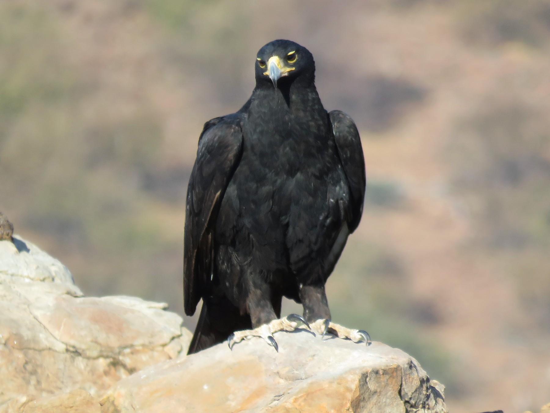Verreaux's Eagle - Linda Hayes