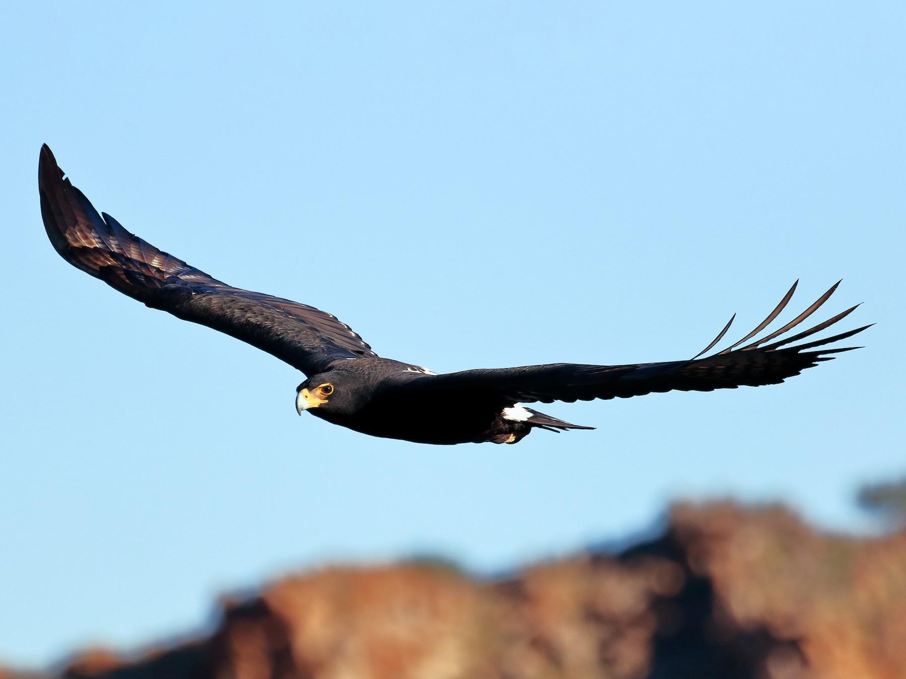 Verreaux's Eagle - Michael Ortner