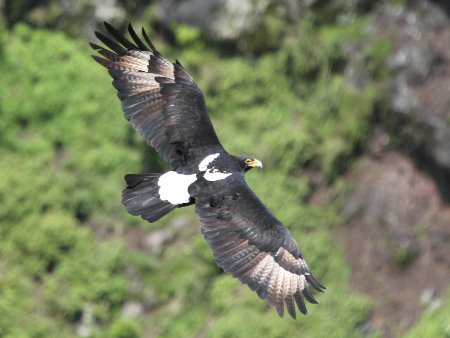 Verreaux's Eagle - Bassel Abi Jummaa