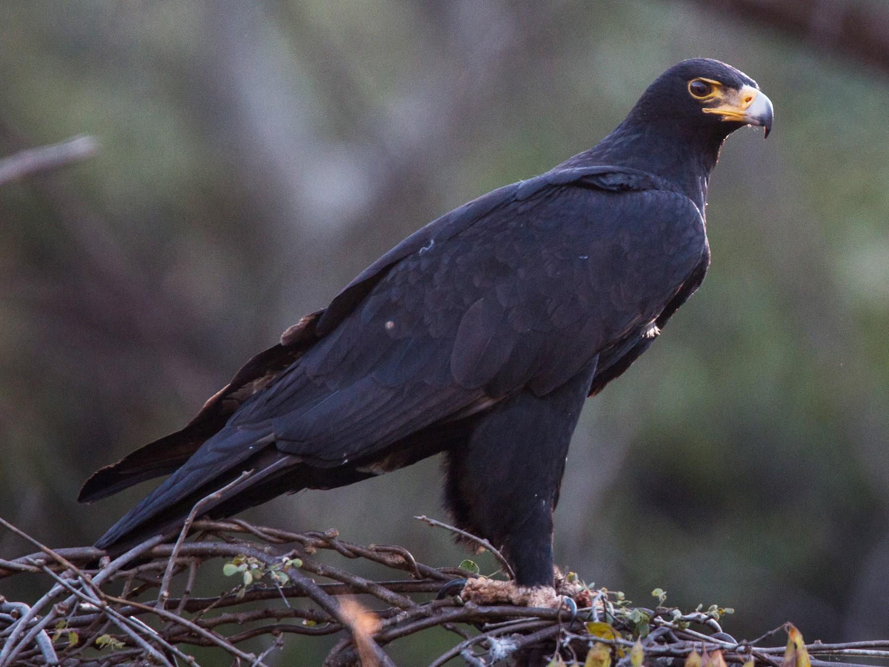 Verreaux's Eagle - Ian Davies