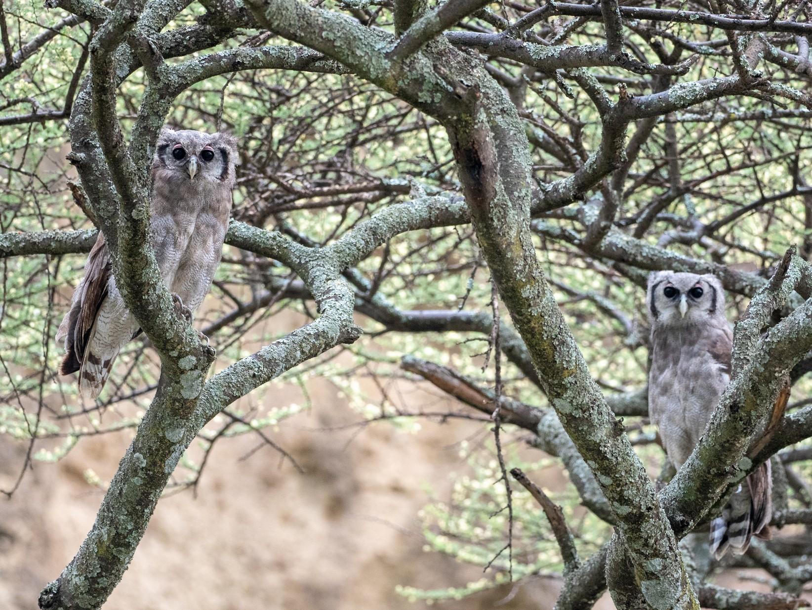 Verreaux's Eagle-Owl - Forest Jarvis