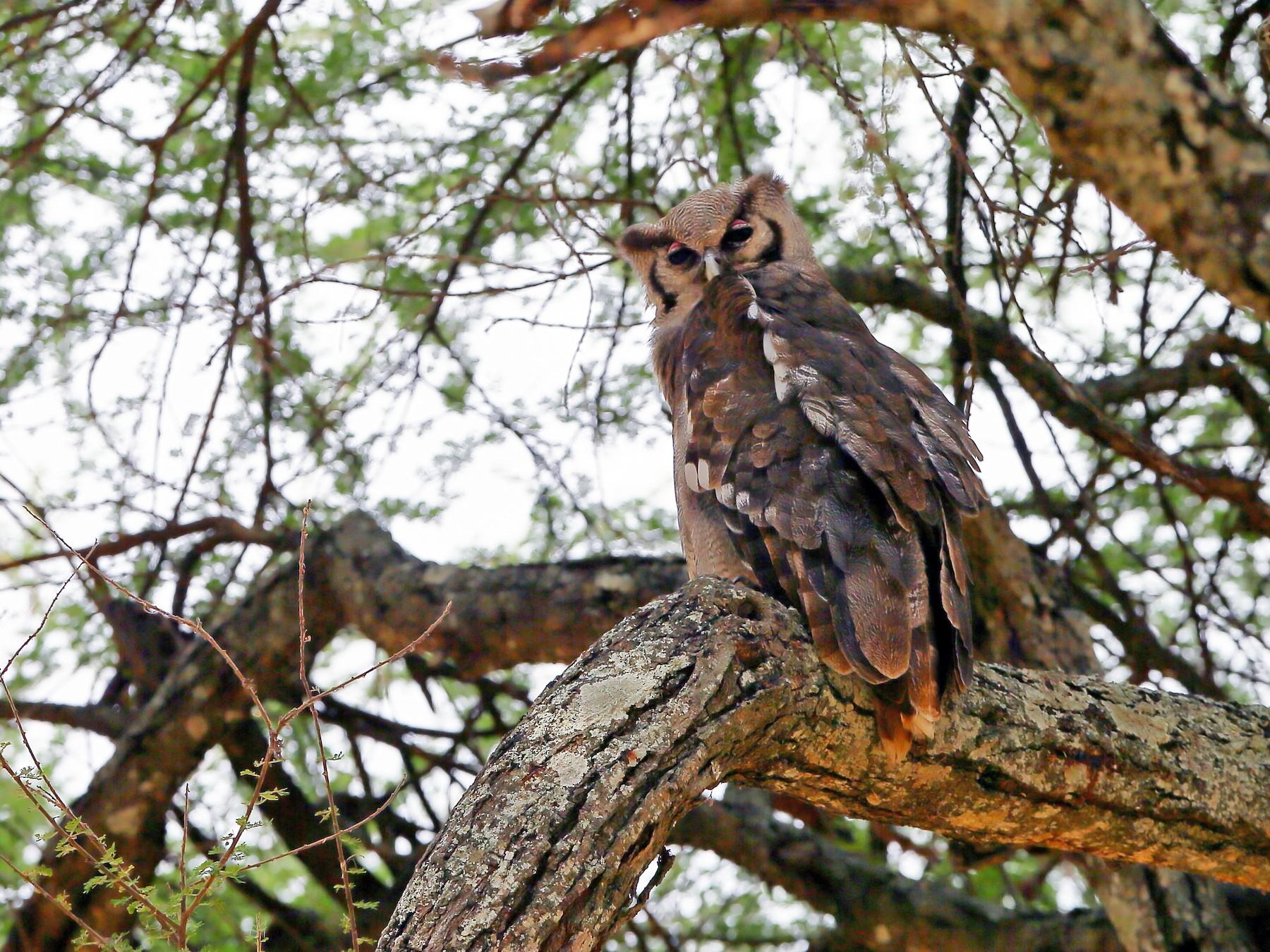 Verreaux's Eagle-Owl - Holger Teichmann