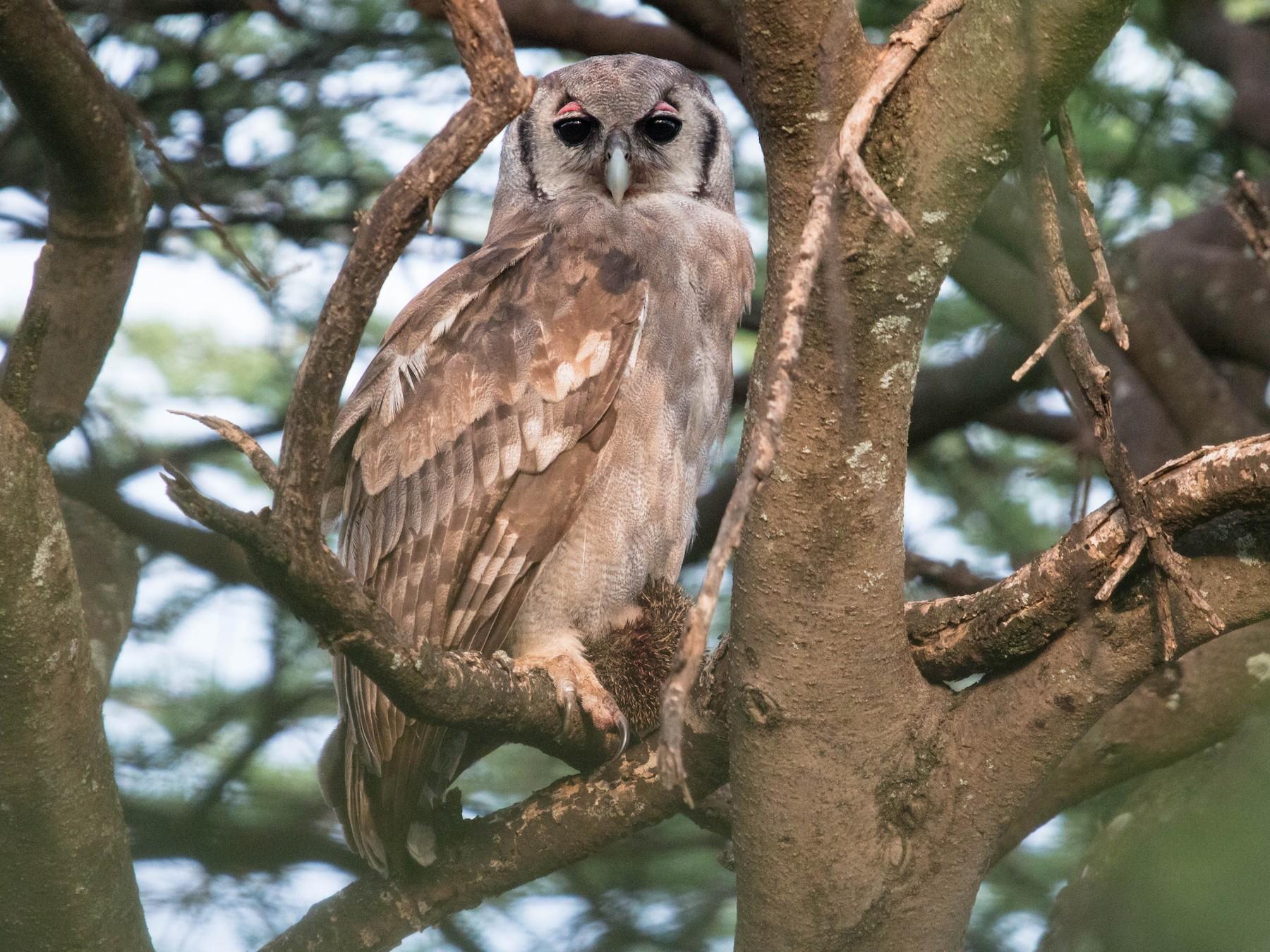 Verreaux's Eagle-Owl - Kevin Vande Vusse