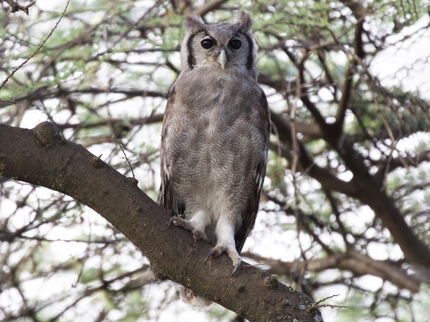 Verreaux's Eagle-Owl - Rachel Lawrence