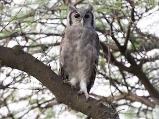 - Verreaux's Eagle-Owl