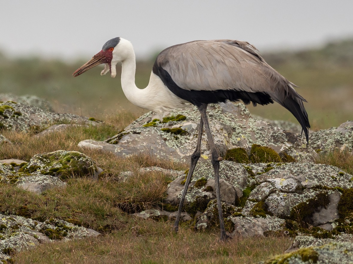 Wattled Crane - Forest Jarvis