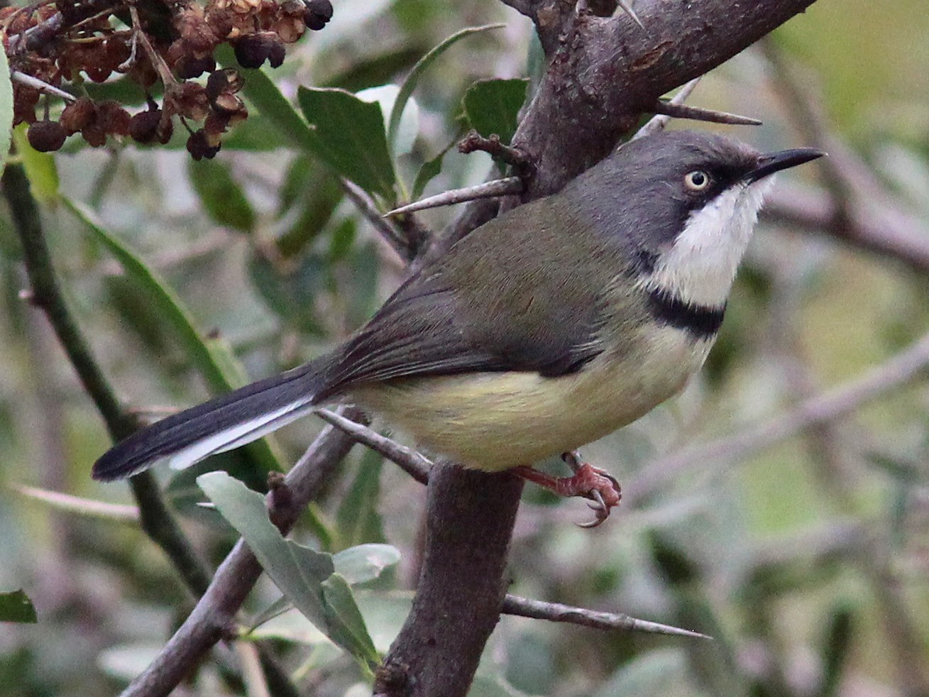 Bar-throated Apalis - Dan Jones