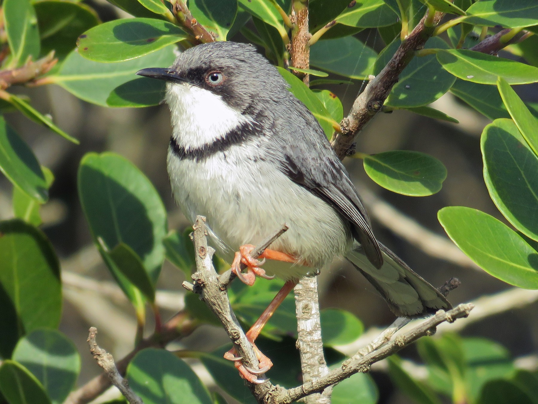 Bar-throated Apalis - Jan Hansen