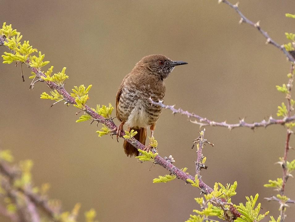 Barred Wren-Warbler - Niall D Perrins