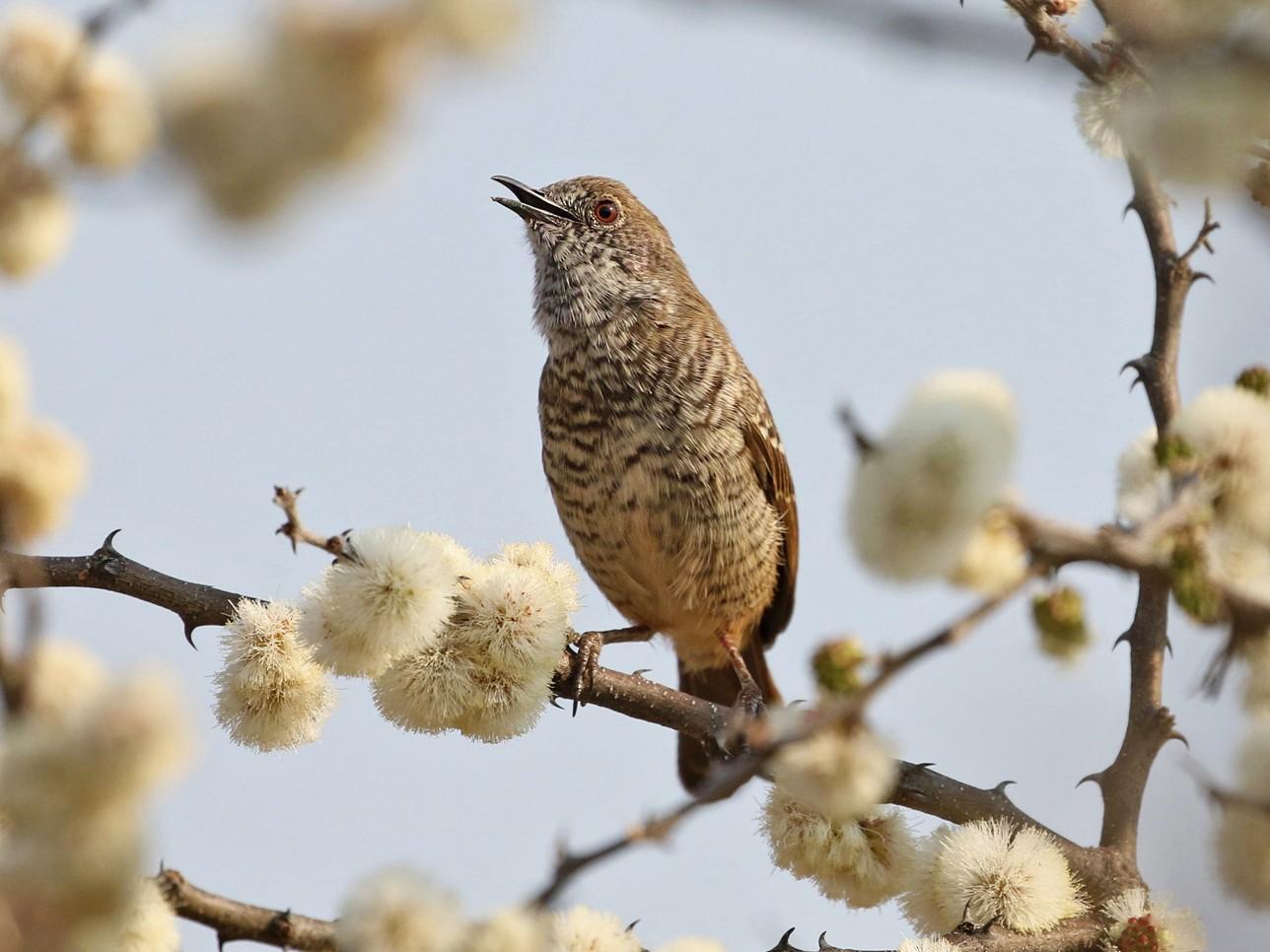 Barred Wren-Warbler - Charley Hesse