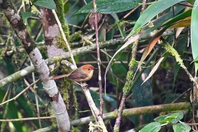 Orange-crowned Fairywren