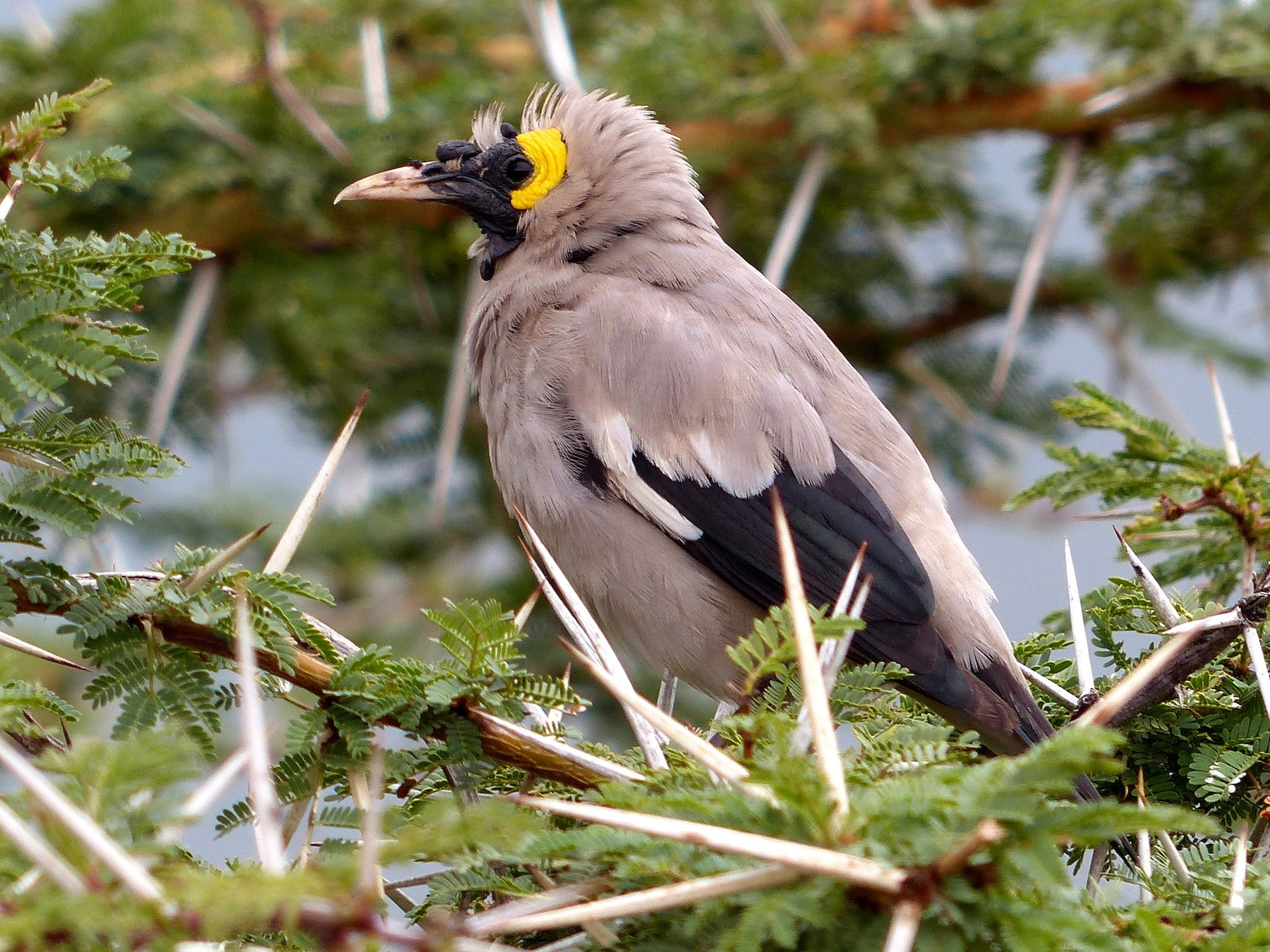 Wattled Starling - bob butler