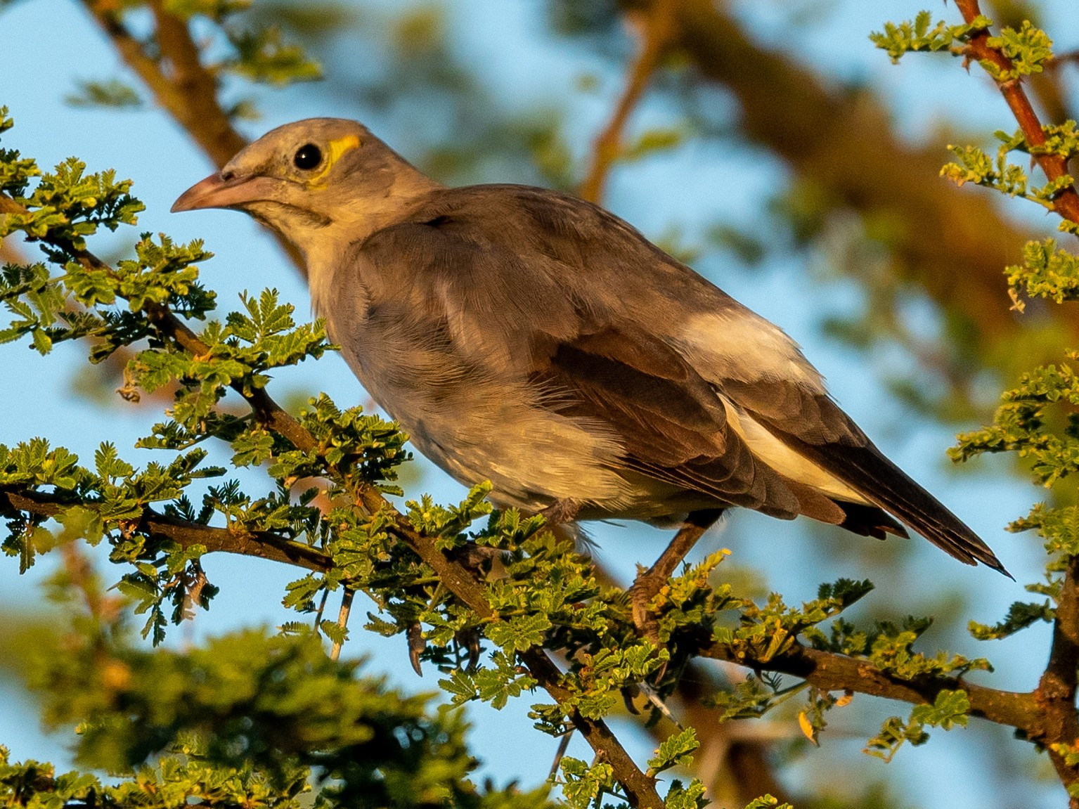 Wattled Starling - Jean-Louis  Carlo
