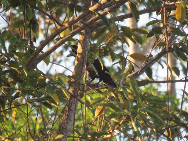 Amazonian Umbrellabird